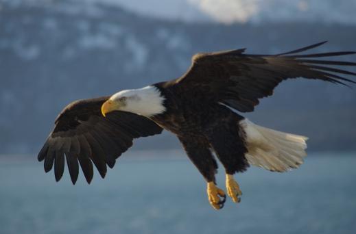 Bald_Eagle_Alaska_(10)